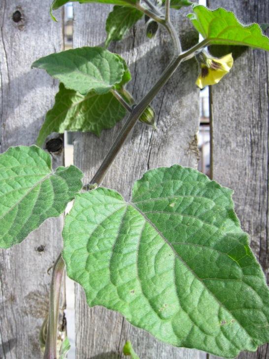 gooseberry2
