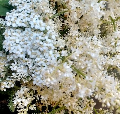 Yarrow and Elder Flowers